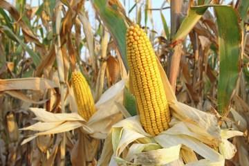 corn-in-husk-in-field-closeup-1500