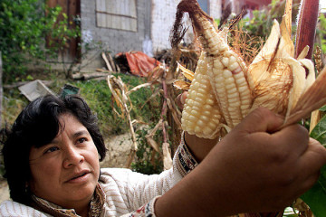corn__genetically_modified_gmo_crop_food_q_15560