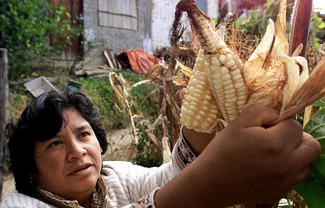 corn__genetically_modified_gmo_crop_food_q_15560