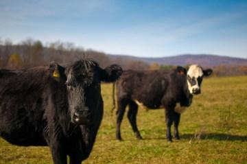 Beef_cattle,_Polyface_Farm