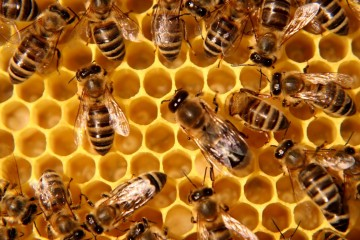 colony-collapse-disorder