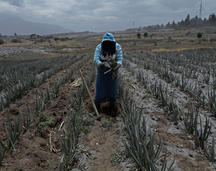 TOPSHOTS A worker takes precautions as ash from the Cotopaxi volcano falls over the crop fields in Machachi, south of Quito on August 22, 2015 a week after the volcano first started showing activity since its last eruption in 1877. Nearly 325,000 people could be affected by an eruption of Cotopaxi, the volcano looming beyond the Ecuadoran capital of Quito, officials said. The biggest risk is from an eruption melting the 5,900-metre (19,000-foot) mountain's snowcap and triggering massive melt-water floods and lahar mudflows that could sweep through nearby towns.   AFP PHOTO / JUAN CEVALLOSJUAN CEVALLOS/AFP/Getty Images ORG XMIT: