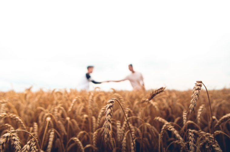the future of drought tolerant wheat is near global farmer network