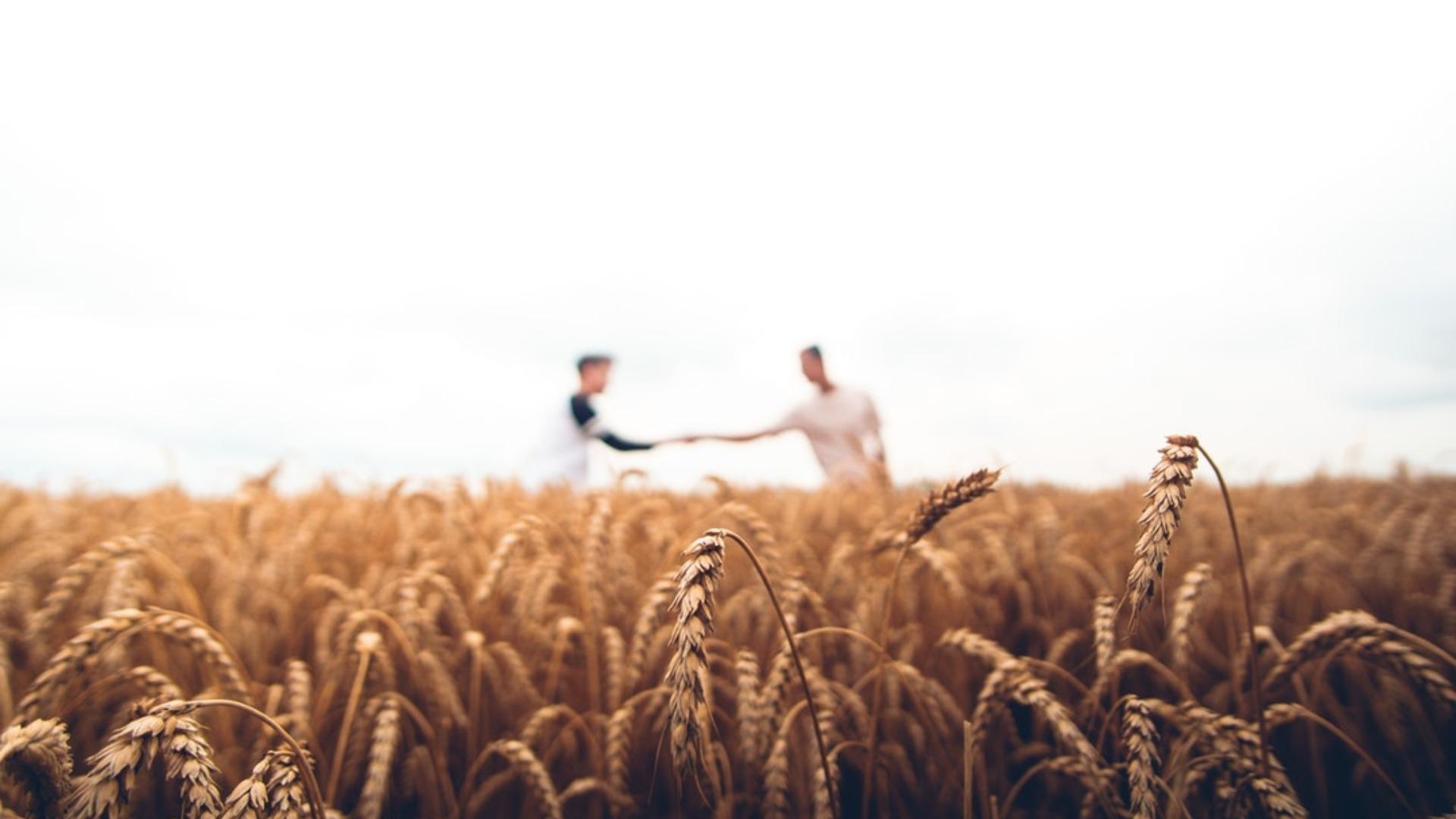 The Future of Drought-Tolerant Wheat is Near – Global Farmer