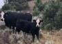 A cow-calf pair on Annabel Morgan's Montana Ranch